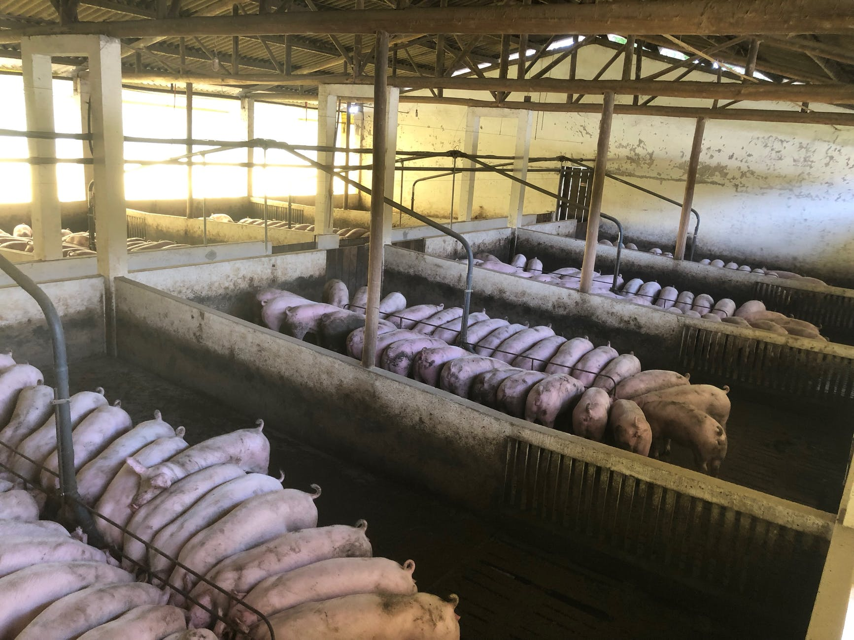 pigs feeding in spacious barn